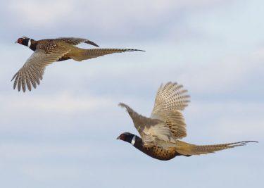 Driven-Pheasant-Hungary